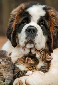 Large St. Bernard with kittens