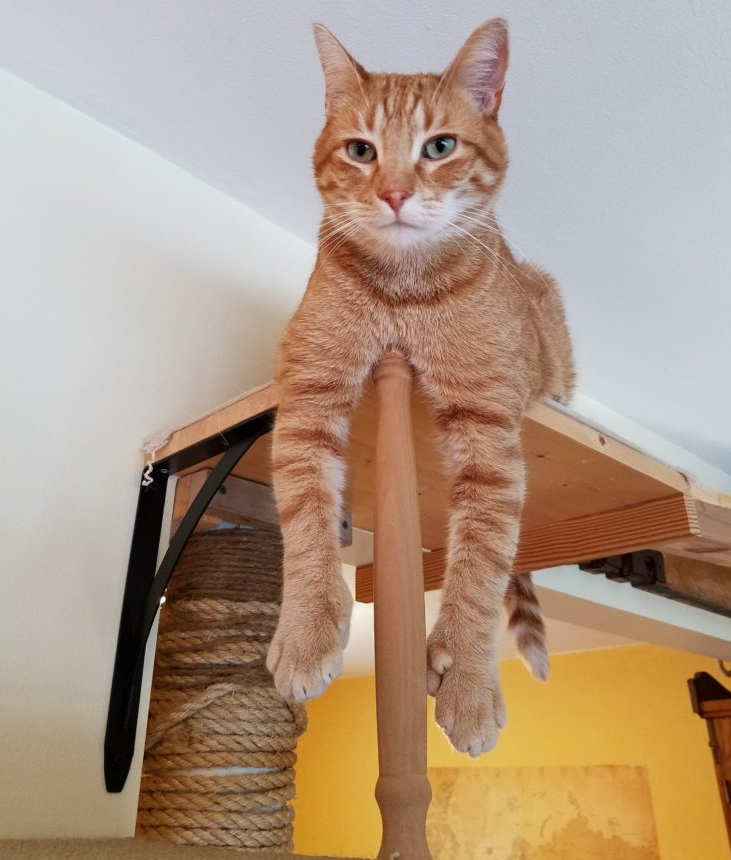 Orange cat named Jimmy John