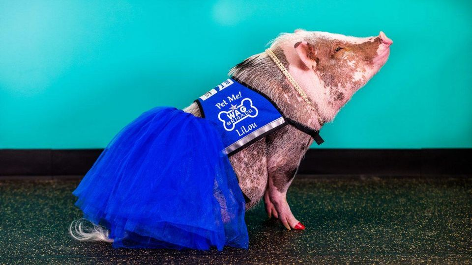 LiLou the pet therapy pig wearing a blue tutu