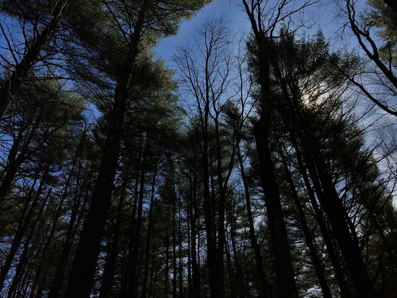 looking up at pine trees with blue sky